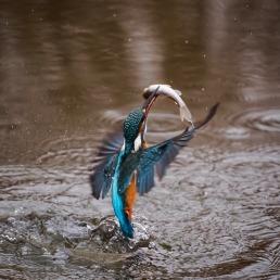 birds-kingfisher